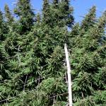 large-marijuana-grow-header