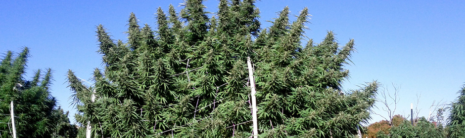 large-marijuana-grow-header