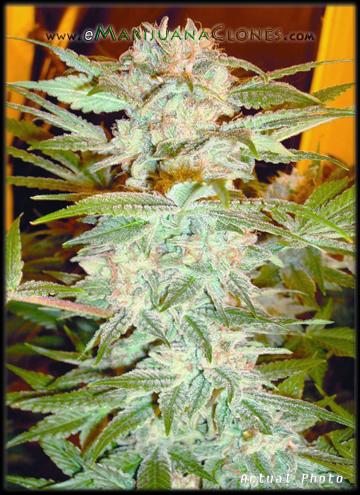 Best Clones For Sale | Marijuana Plants Online